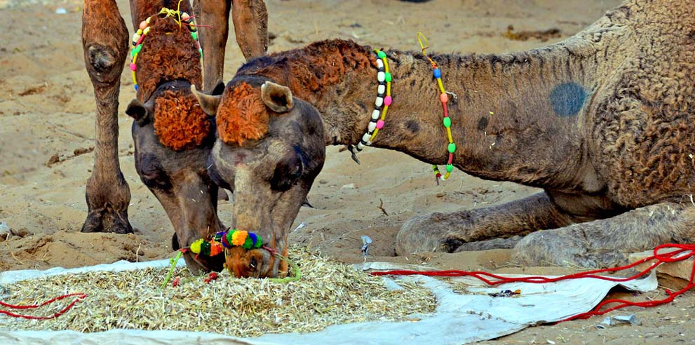 <strong>Pushkar Fair</strong> - Punk Rocker Camels