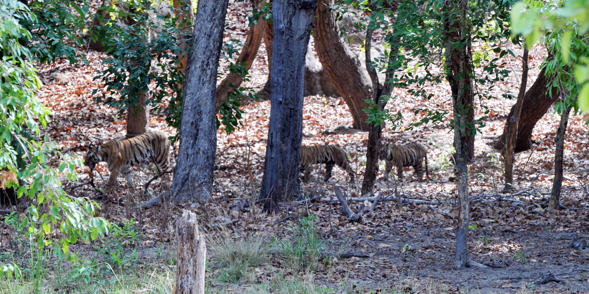 <strong>Bandhavgarh National Park - 2</strong> -