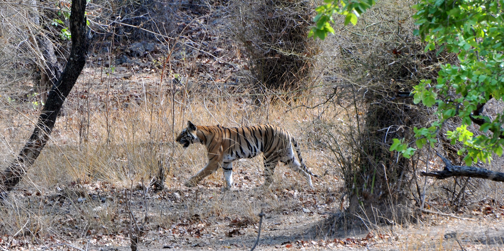 <strong>Bandhavgarh National Park - 1</strong> -