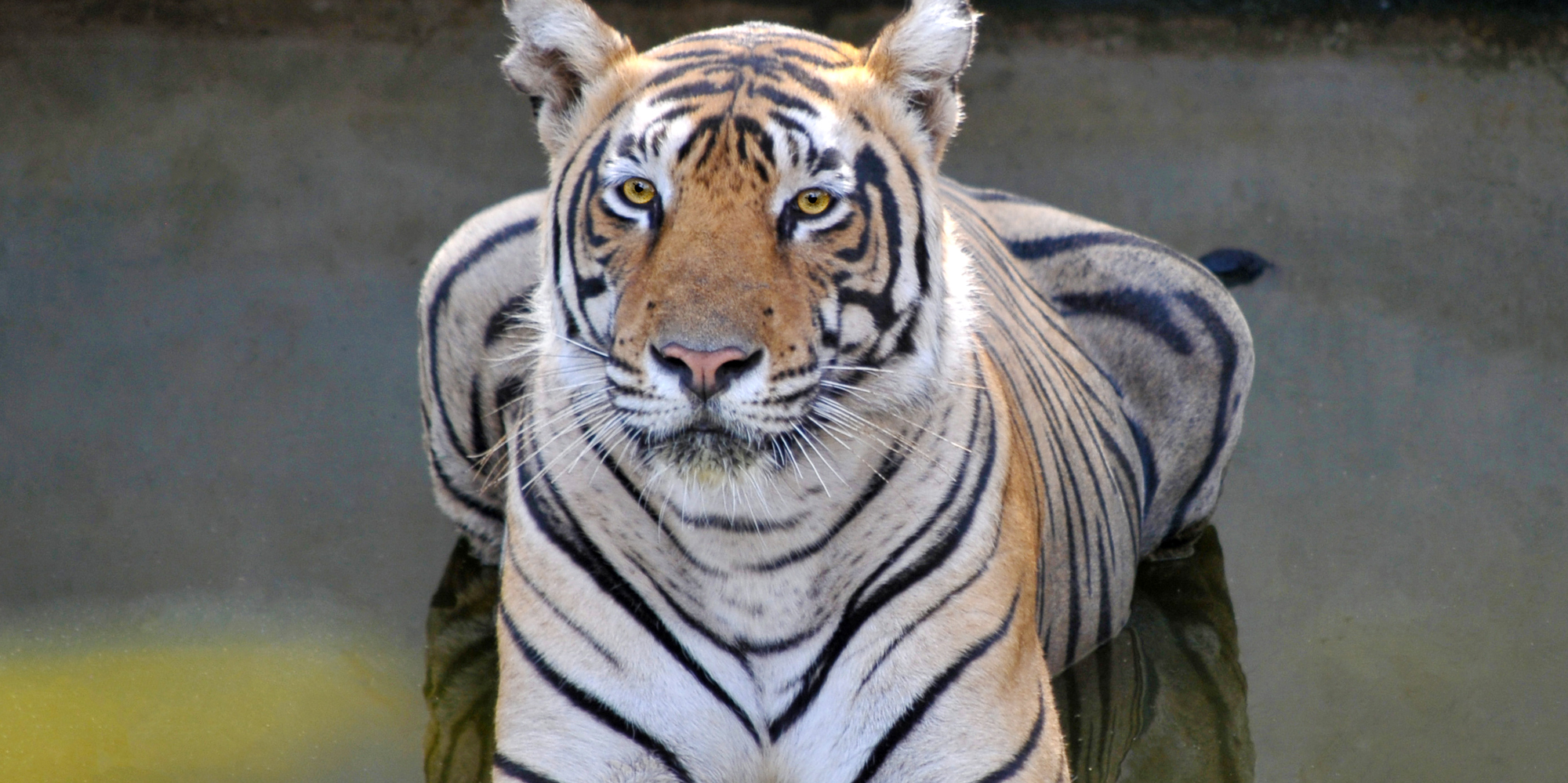 <strong>Tiger at Ranthambore National Park - 2, Ranthambore</strong> -