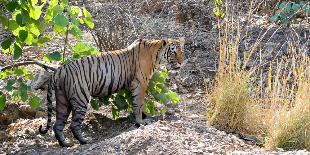 Alpha Male Tiger in Ranthambore National Park