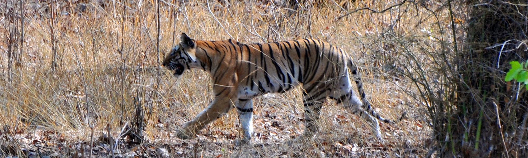 Bandhavgarh India  city photos : Bandhavgarh National Park, India Bandhavgarh is blessed with over ...