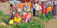 Pushkar Camel Fair - Selling Cattle Feed