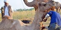 Shaving a Camel - 1 -