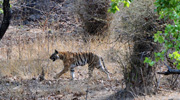 <strong>Bandhavgarh</strong> - Bandhavgarh National Park is one of the popular national parks in India located in the Umaria district of Madhya Pradesh. Bandhavgarh was declared a national park in 1968, with an area of 105 km�.