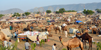 Pushkar Fair - 6 - Pushkar Camel Fair