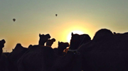 Camels during sunset
