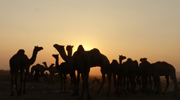 Sunset at Pushkar Camel Festival 2013