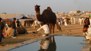 Camel at Pushkar Camel Fair