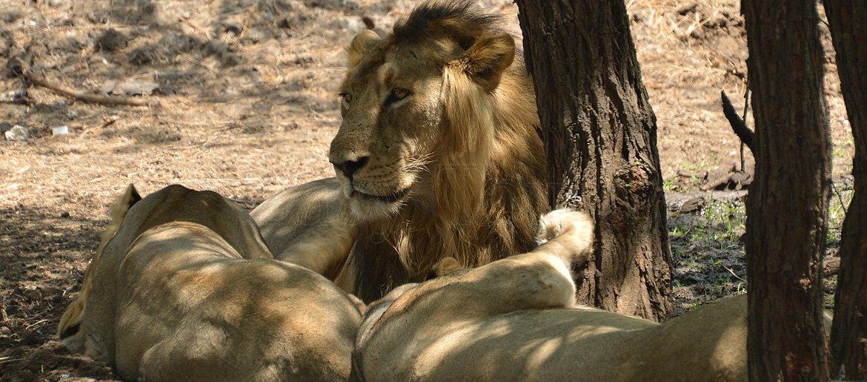 Sasan Gir Lion Sanctuary
