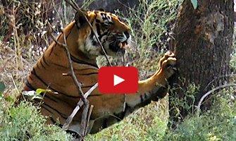 Amazing Tiger Video